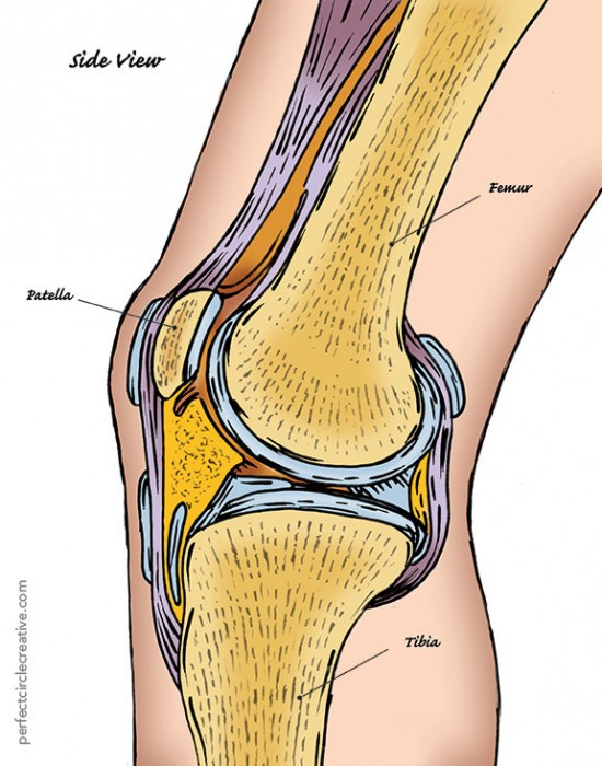 Hand drawn illustration of the side view of human knee showing the patella, femur and tibia.