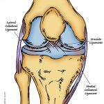Hand drawn illustration of human knee showing the lateral collateral ligament, cruciate ligaments and the medial collateral ligament.