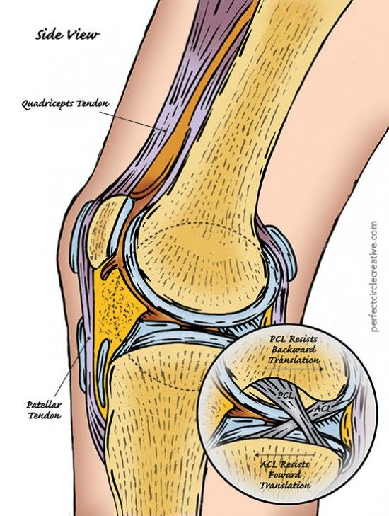 Hand drawn illustration of the side view of the human knee showing the quadriceps tendon, the patellar tendon, the ACL and the PCL.